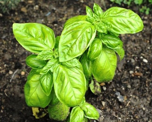Basil via growingbasilblog_com