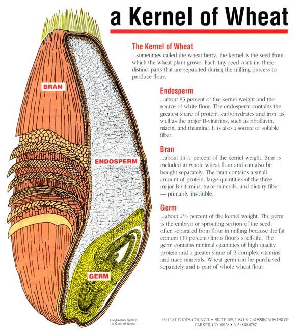 Wheat_diagram_big via MaineBread_com